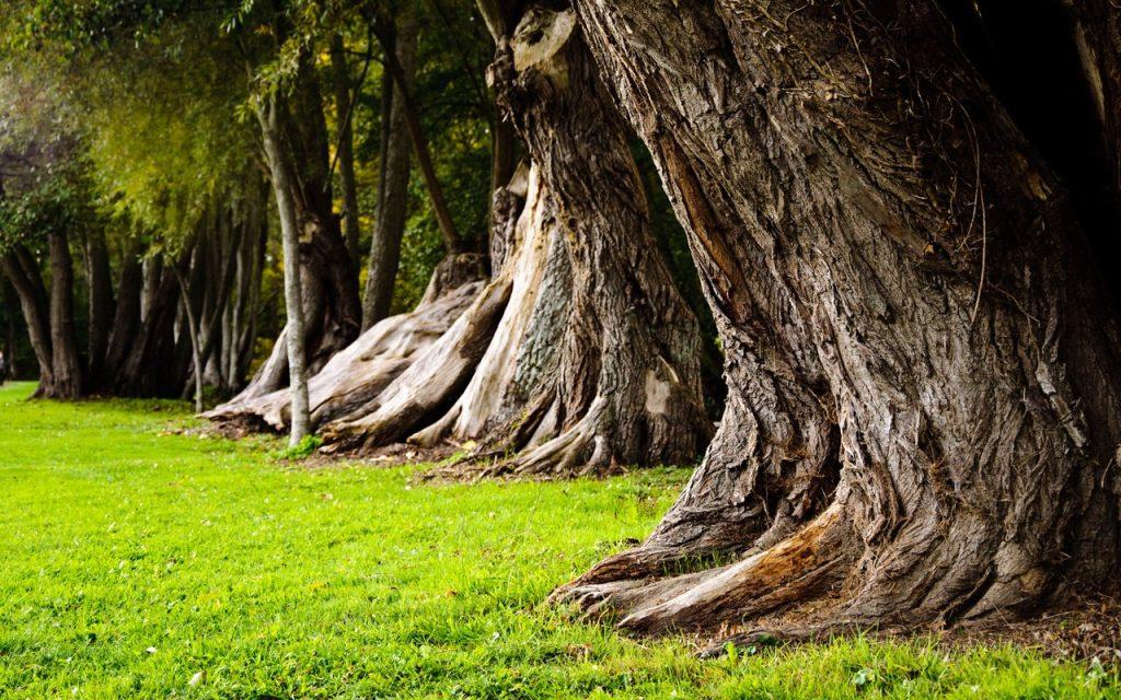 yaşlı ağaç,oksijen,sera gazı